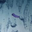 New Psychropotid species (Echinodermata ...