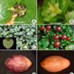Reappraisal of Nertera (Rubiaceae) in ...