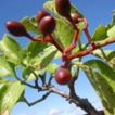 Cyphostemma calcarium (Vitaceae), a new ...