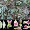 Hemiboea chanii (Gesneriaceae), a new ...