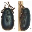 Taxonomy of the subgenus Burlinius Lopatin ...