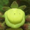 Calceolaria flavida (Calceolariaceae) ...