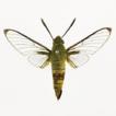 Cephonodes sanshaensis sp. nov. (Lepidoptera, ...