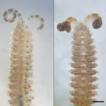 New species of the genus Spio (Annelida, ...