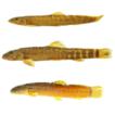 A new species of Homatula (Teleostei: ...